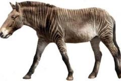 Equus-giganteus