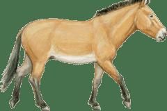 equus complicadus